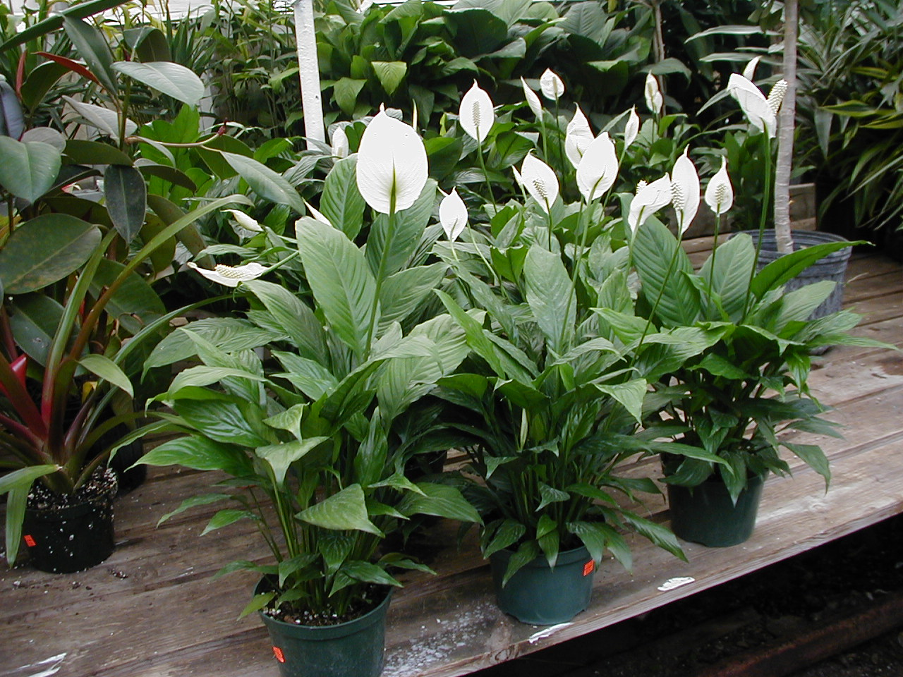 Plants for home or office spathyphylum peace lily name spathi means spathe part of the sail like flower phyllum means leaf spathe like a leaf origin south and central izmirmasajfo Image collections